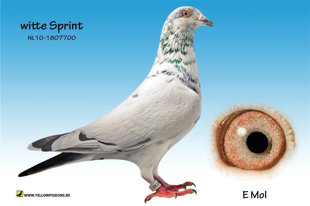 witte sprint